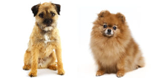 The Border Terrier Pomeranian Mix: Everything You Need To Know