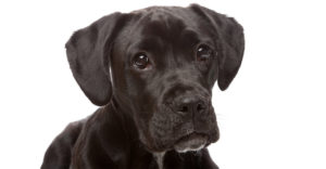 Boxer Lab Mix – Your Guide To The Boxador