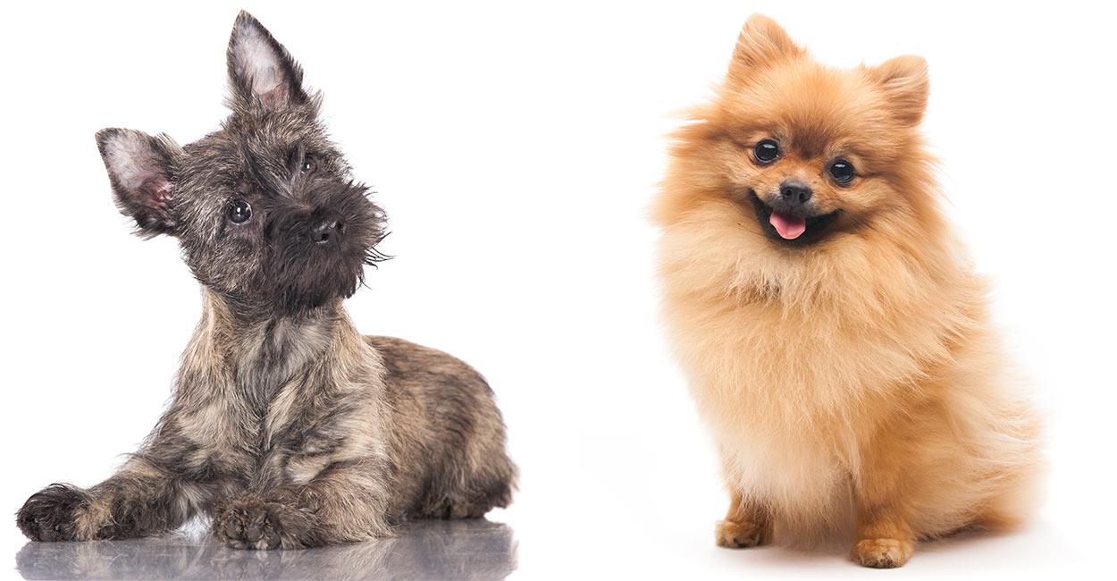 Cairn Terrier Pomeranian Mix Cross Of Pomeranian And Cairn Terrier