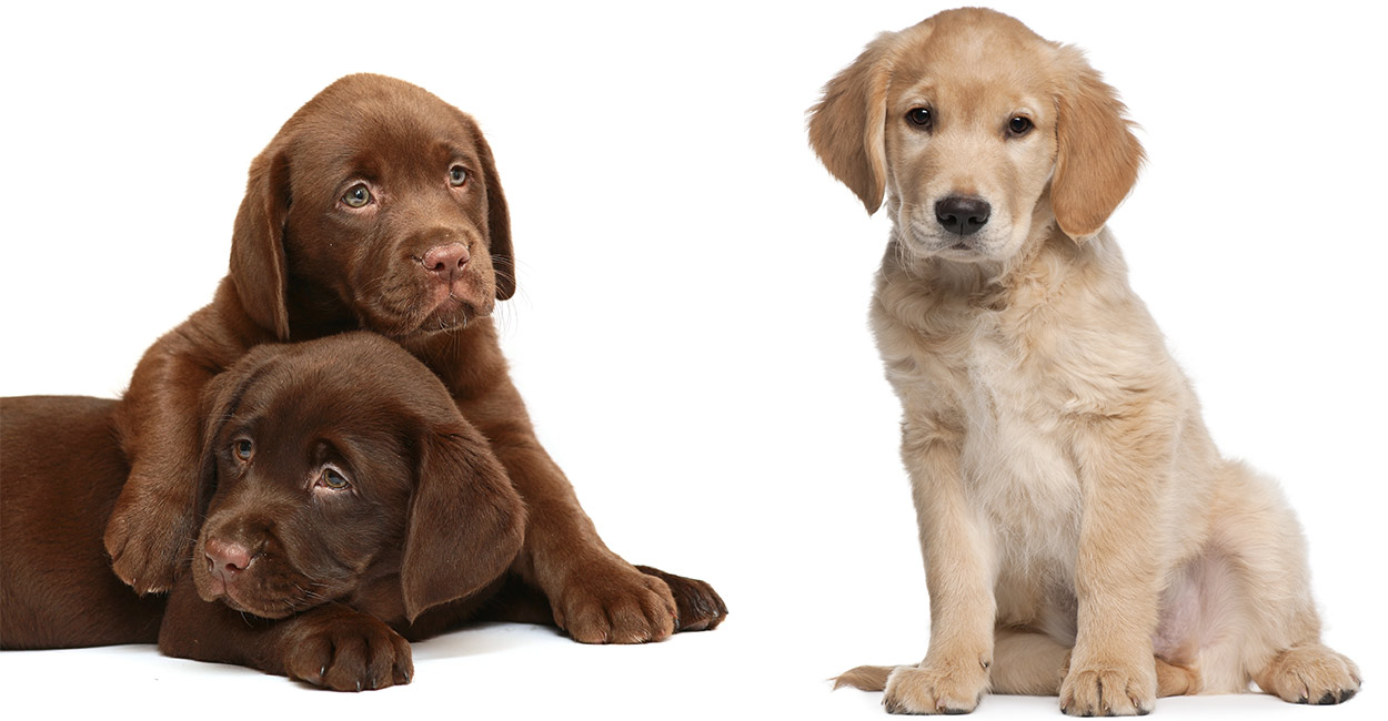 golden retriever vs labrador header