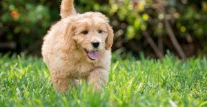 Best Food For Goldendoodle Puppies, Dogs & Seniors