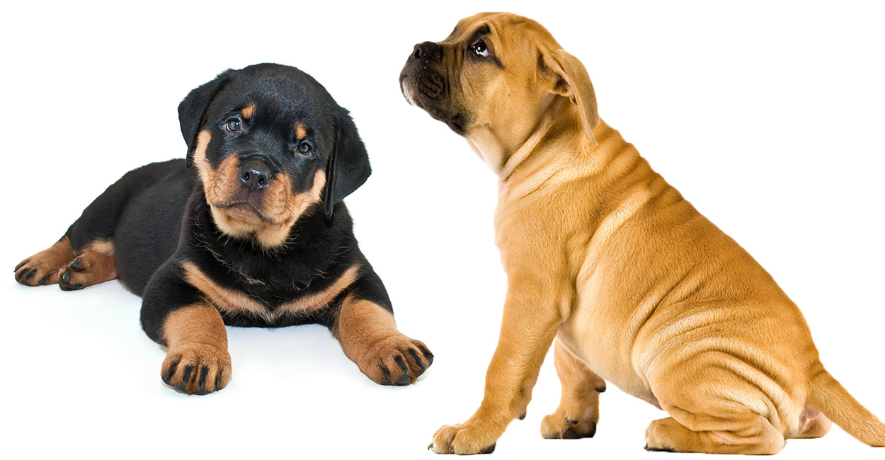 Rottweiler Mastiff Mix A Complete Guide To The Bullmastiff Rottie