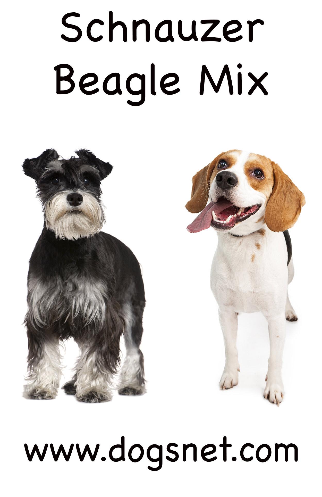 Schnauzer Beagle Mix Adorable Mix Of Beagle And