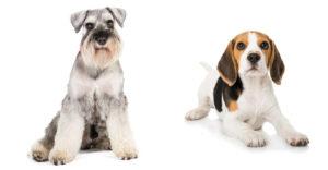 Schnauzer Beagle Mix