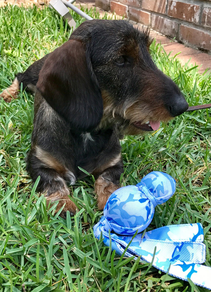 dachshund with kong wubba