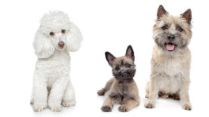 Is A Cairnoodle Your Top New Puppy Choice? Your Guide To The Cairn Terrier Poodle Mix