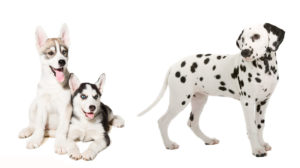 Is The Dalmatian Husky Mix Your Ideal New Pet Dog?