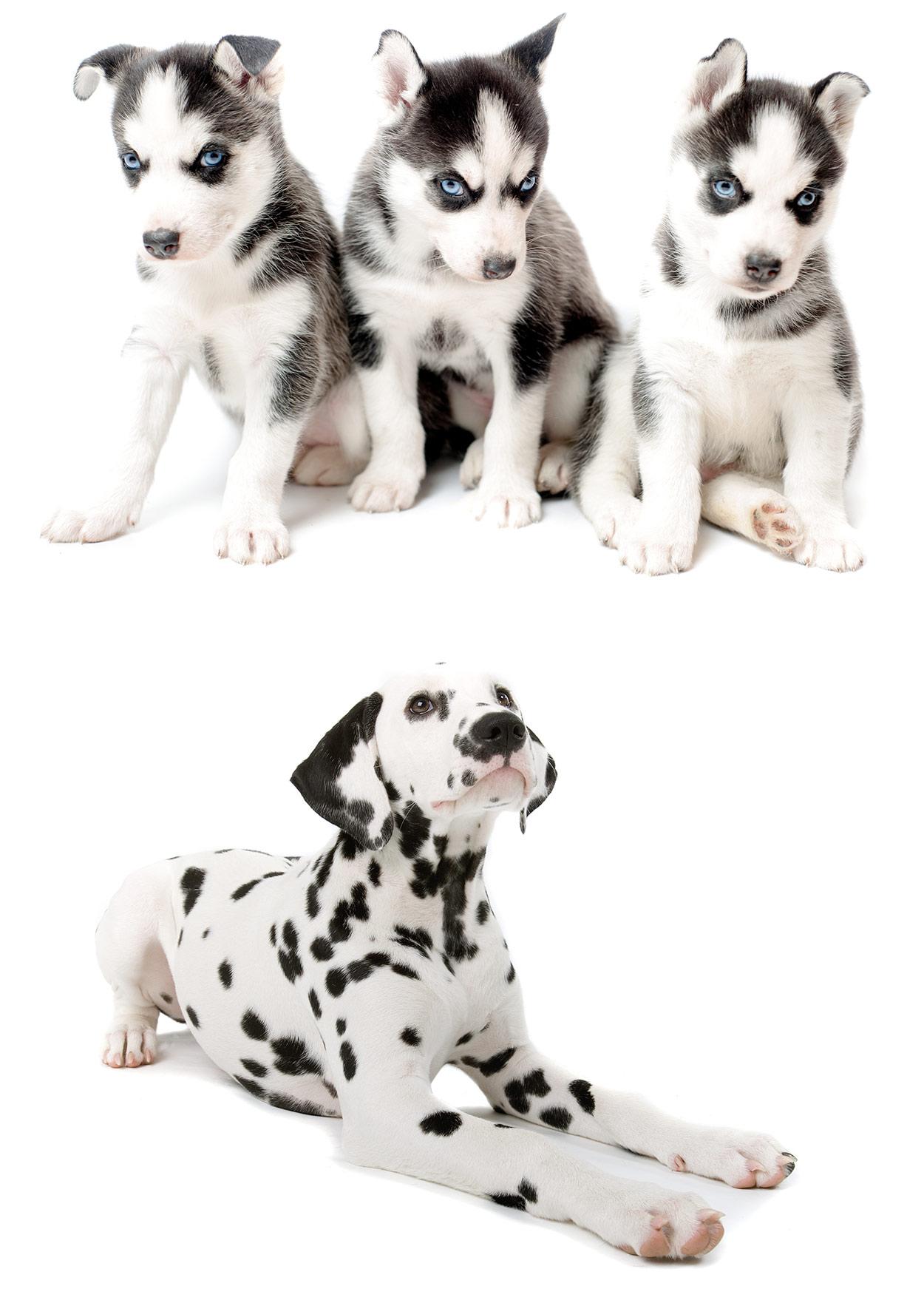 Is The Dalmatian Husky Mix Your Ideal New Pet Dog