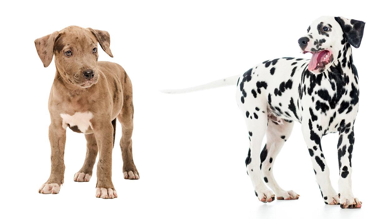 dalmatian pitbull mix