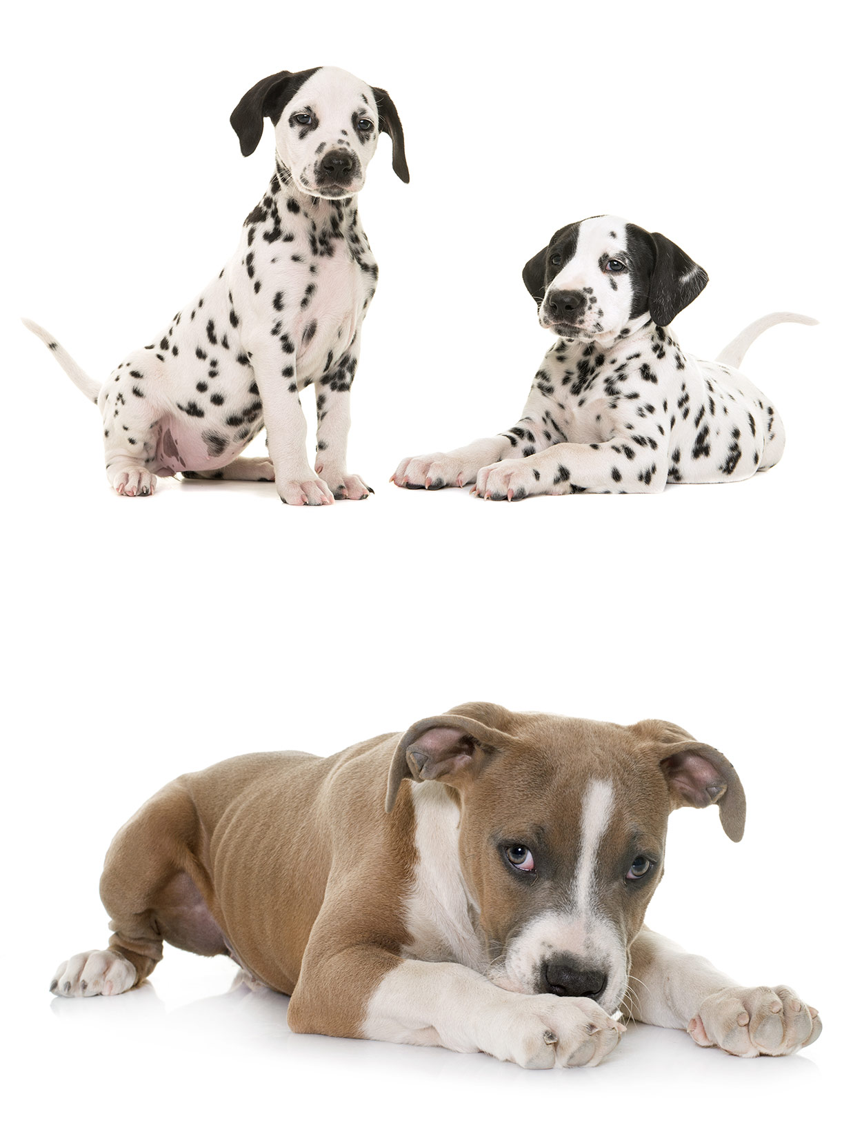 is the dalmatian pitbull mix the right pet for me