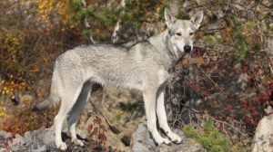 Saarloos Wolfdog – The Wild Pet You Could Share Your Home With