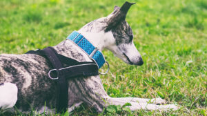 Best Harness For Whippets And Other Deep Chested Dog Breeds