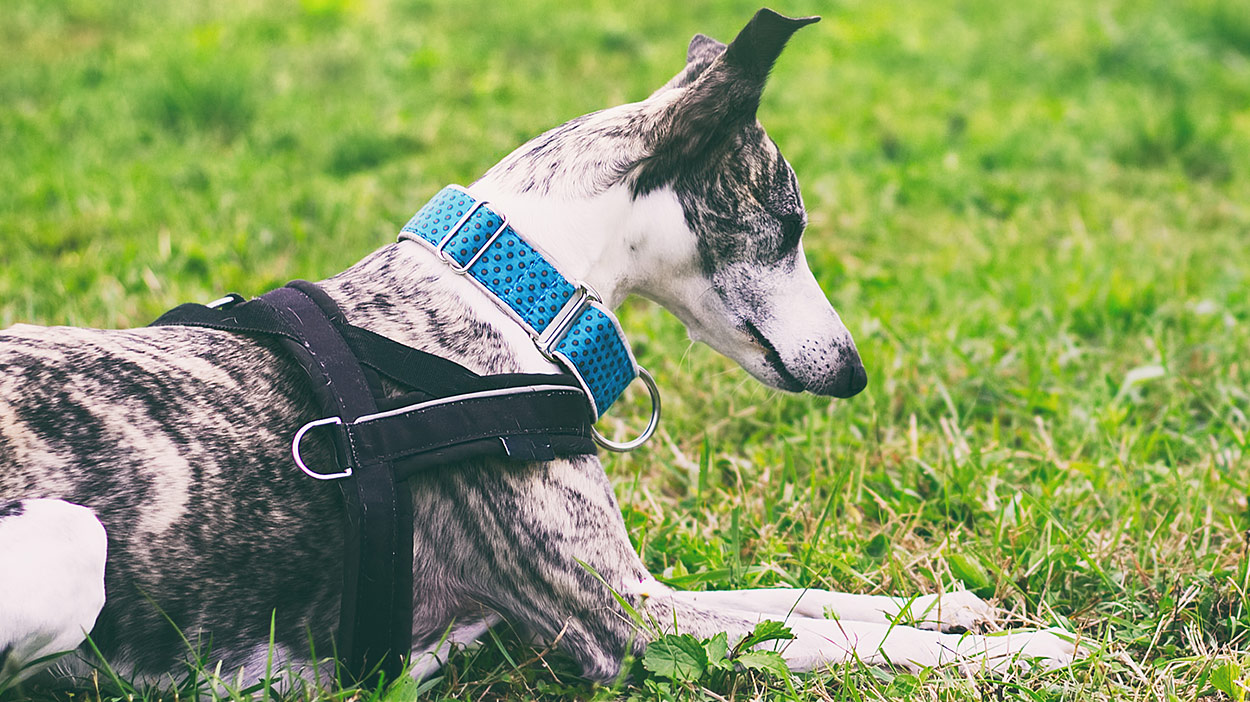 best harness for whippets