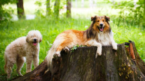 Cadoodle – The Collie Standard Poodle Mix