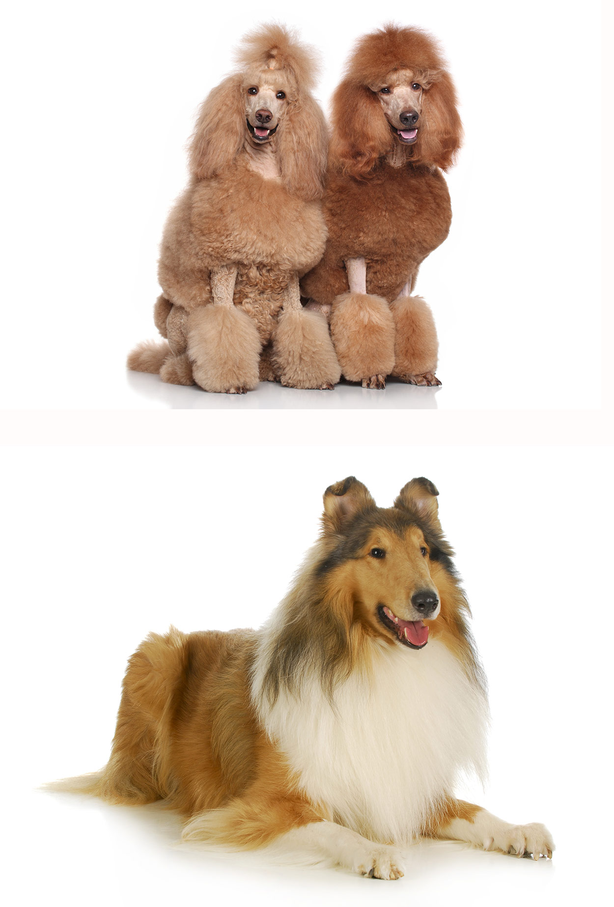 Cadoodle The Collie Standard Poodle Mix