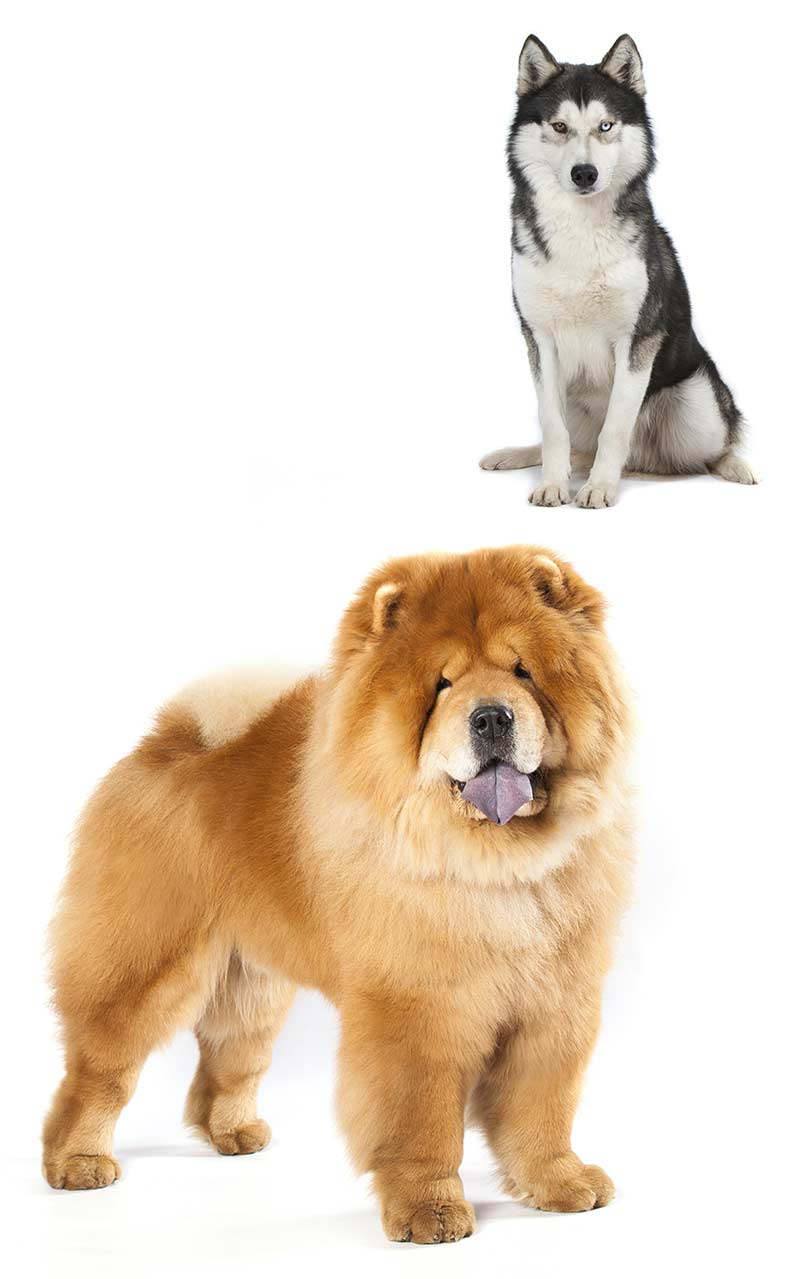 Chusky Is The Chow Chow Husky Mix Your Ideal New Pet