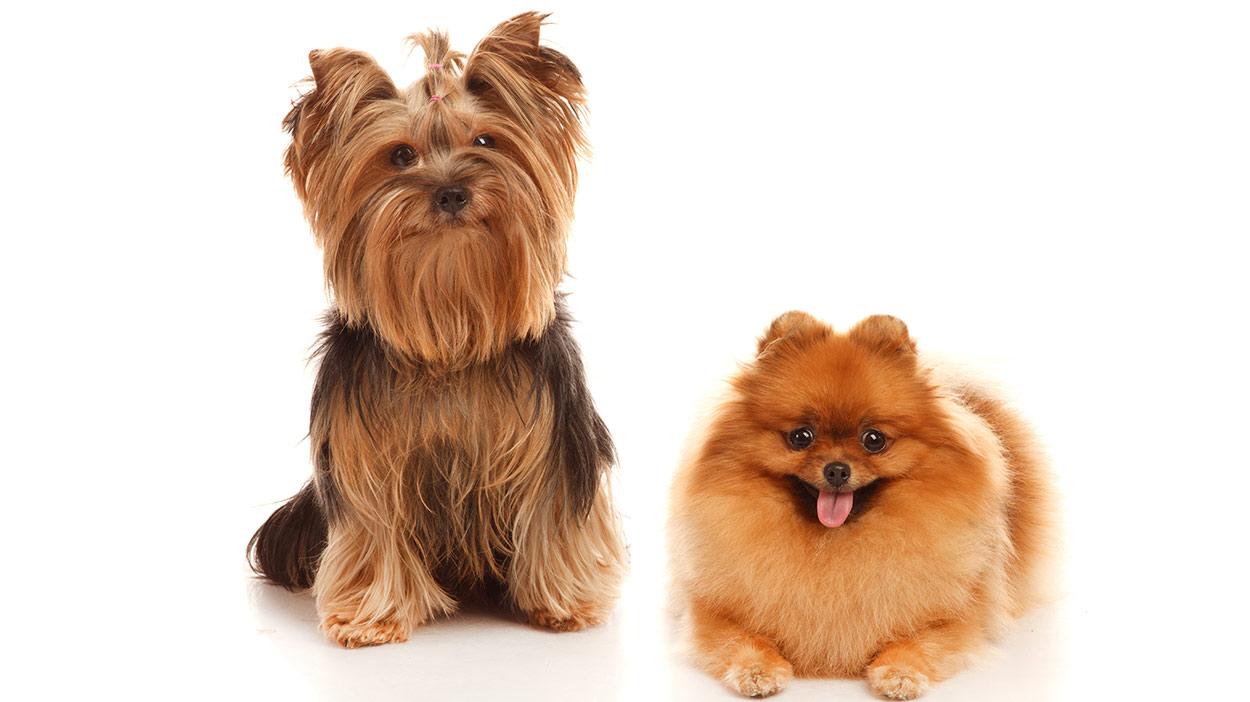 Pom Terrier
