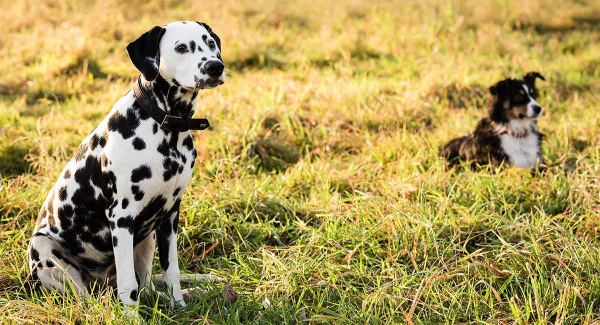 Australian Shepherd Dalmatian Mix