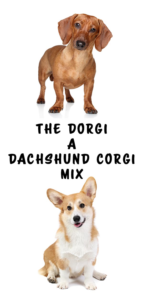 Dorgi - The Pembroke Welsh Corgi Dachshund Mix - dogsnet.com