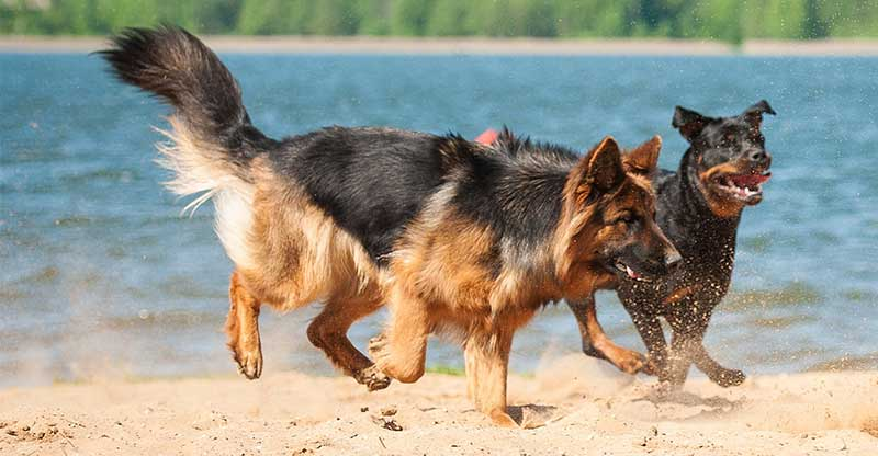 Rottweiler Vs German Shepherd Which Pet Is Right For Me