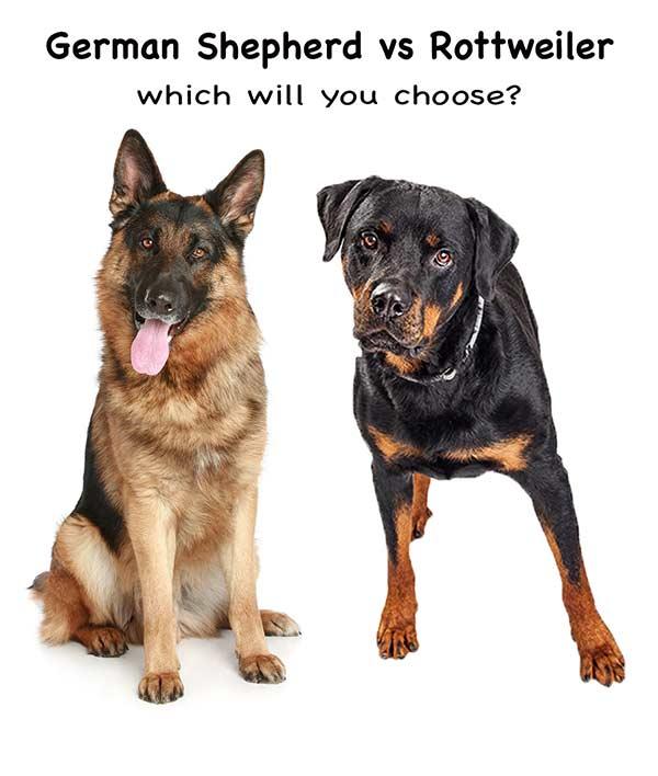 rottweiler vs german shepherd - how to choose!