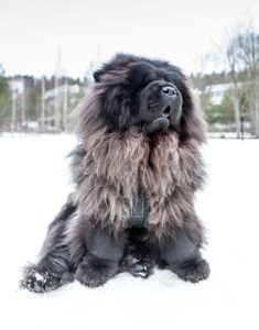 Blue Chow Chow – Fun Facts and Information About An Unusual Color