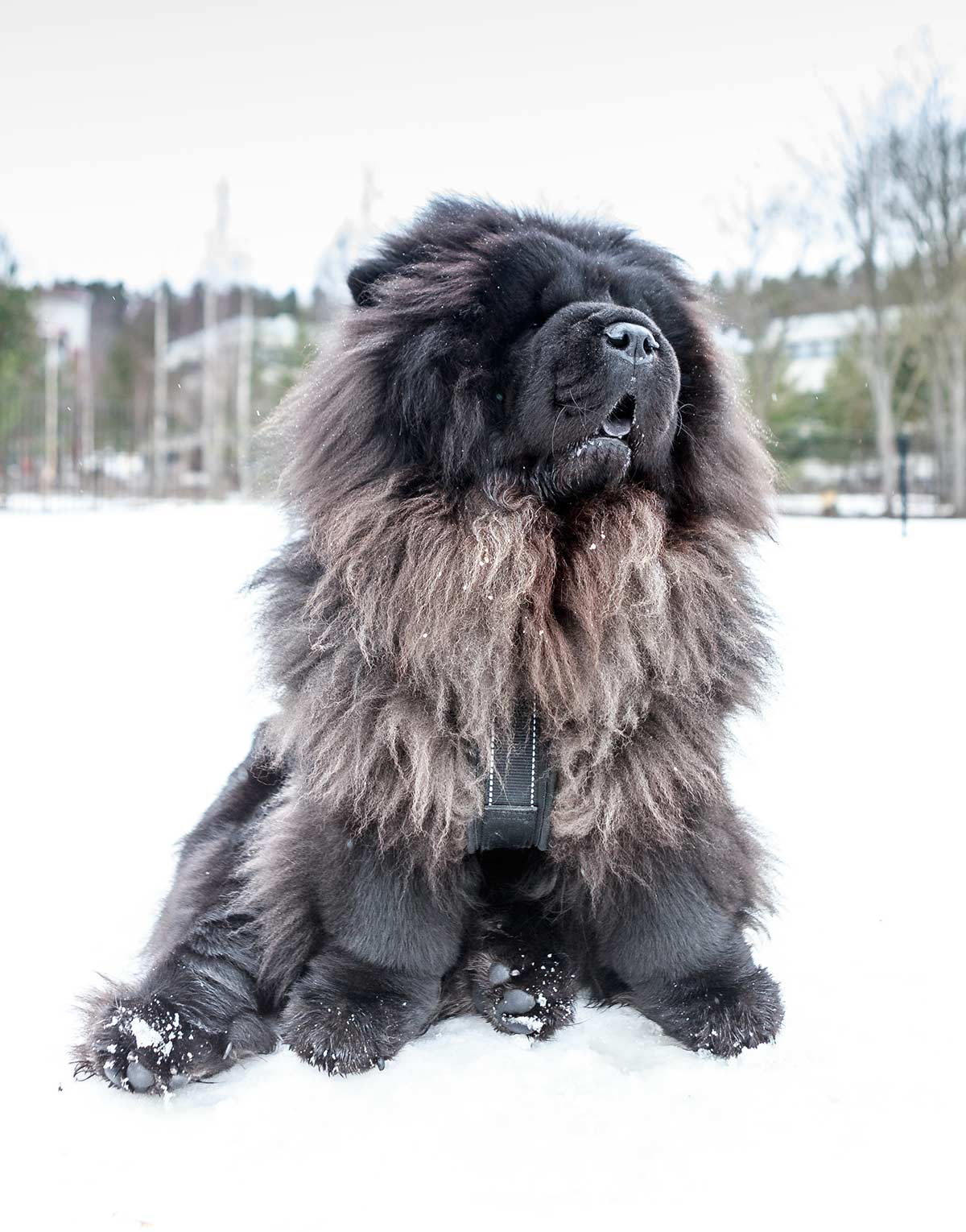 Blue Chow Chow - Fun Facts and