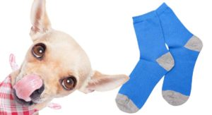 My Dog Ate A Sock – Should I Call The Vet Or Is It No Big Deal?