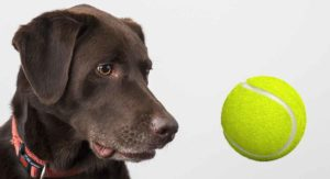 My Dog Ate A Tennis Ball – Will They Be Okay?