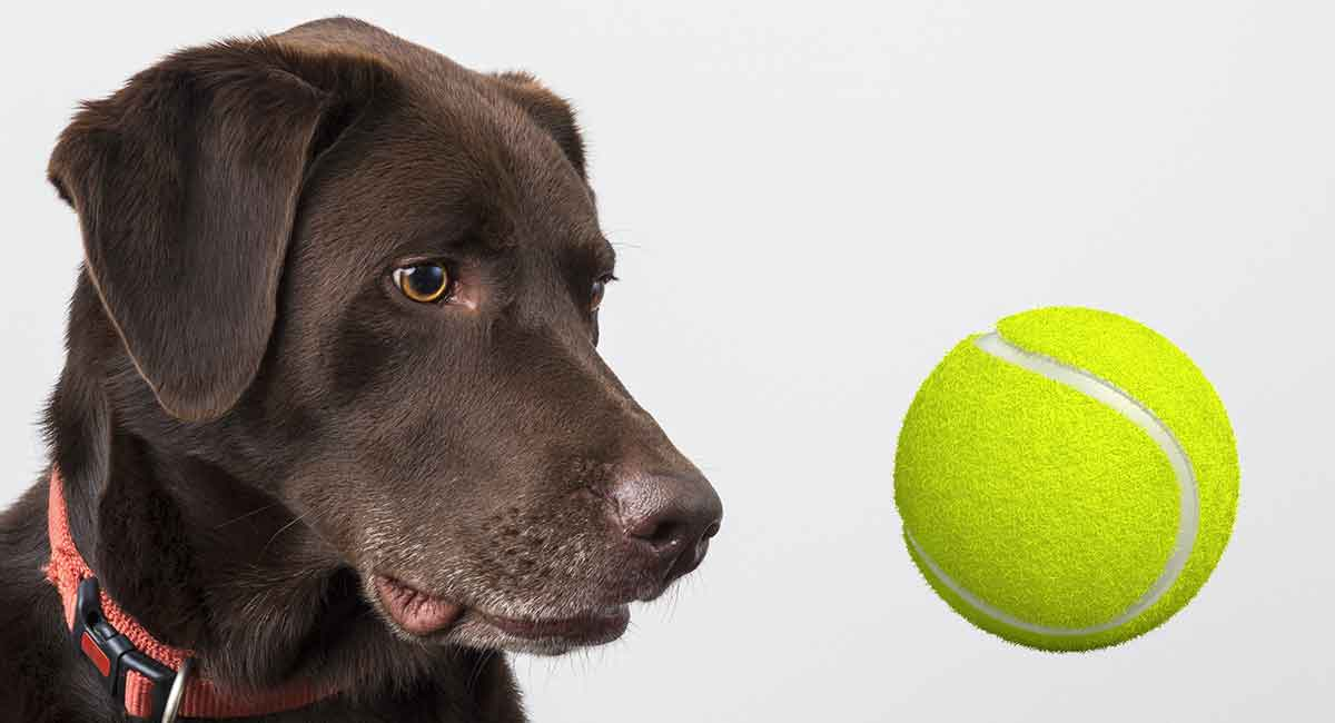 my dog at a tennis ball