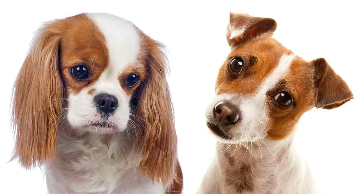 Top Cavajack – The Jack Russell King Charles Cavalier Mix #XW_48