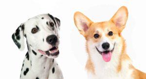Corgi Dalmatian Mix – Is This Cross a Happy Healthy Pet?