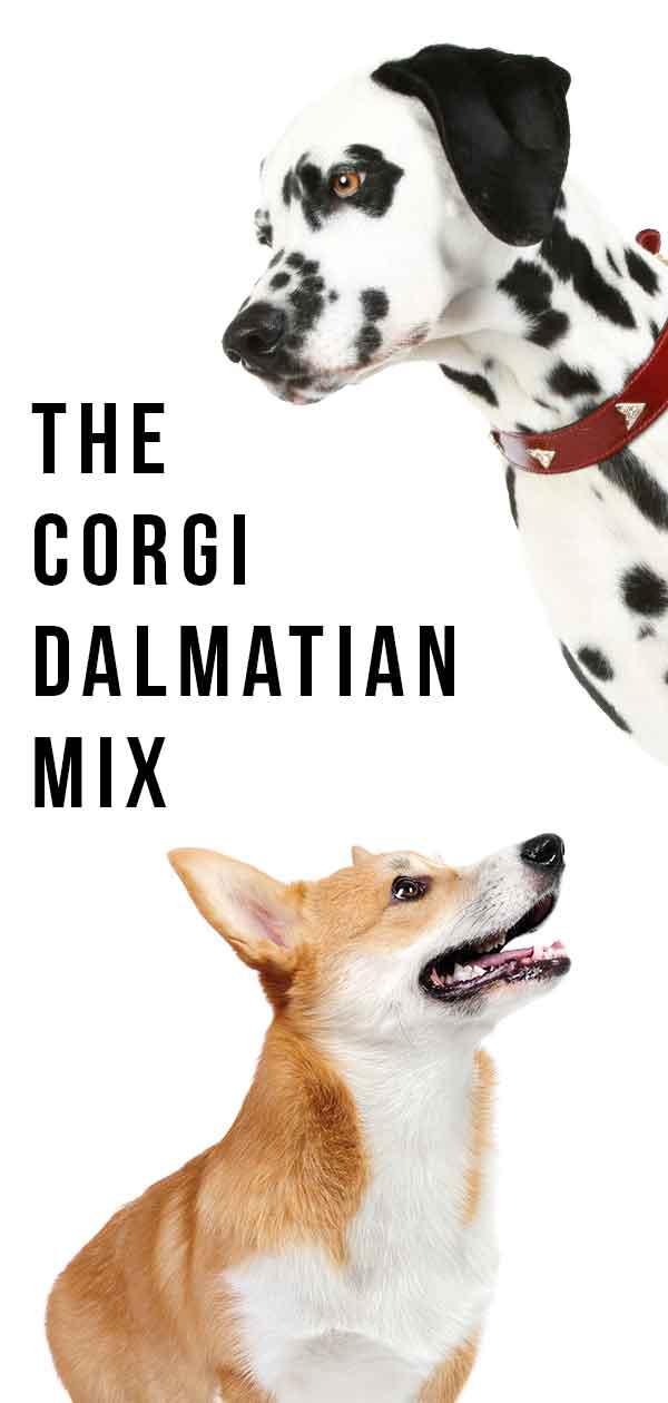 corgi dalmatian mix