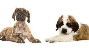 Great Dane St Bernard Mix – Is This Giant Crossbreed a Good Pet?