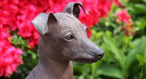 Peruvian Hairless Dog – Is His Personality As Fun As His Look?