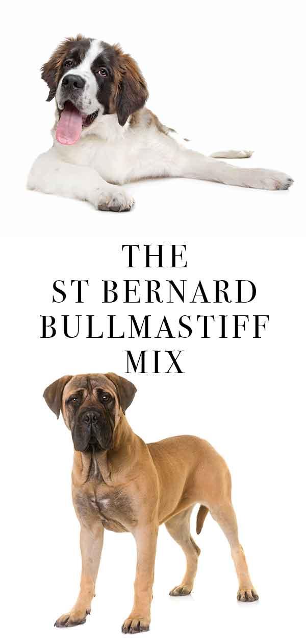 st bernard bullmastiff mix
