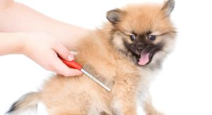 Best Brush for Pomeranian Pups and Their Lovely Long Coats