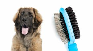 Choosing The Best Brush For A Leonberger Double Layer Coat