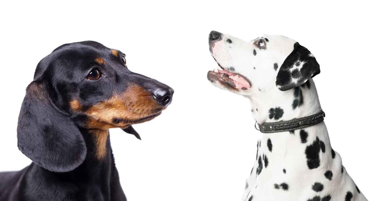 dachshund dalmatian mix