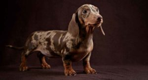 Dapple Dachshund – What This Coloring Means for Your Pet