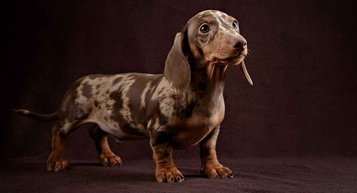Dapple Dachshund What This Coloring Means For Your Pet