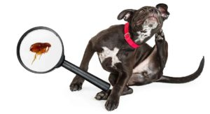 Dog Fleas – Getting to Know Your Itchy Enemy and How to Defeat Them