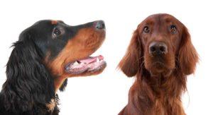 Gordon Setter vs Irish Setter – How Do They Compare?