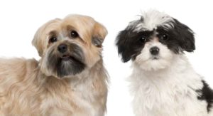 Havanese vs Shih Tzu – How Many Differences Can You Spot?