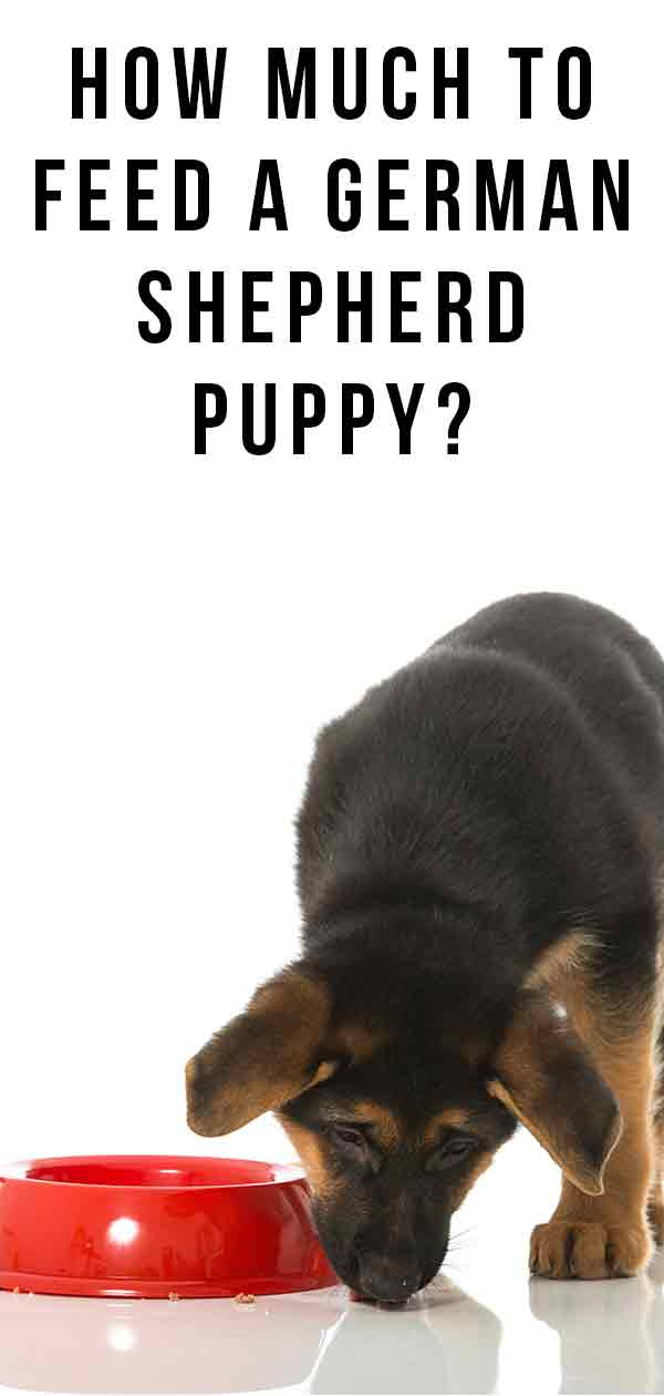 how much to feed a german shepherd puppy