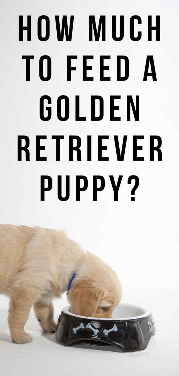how much to feed a golden retriever puppy