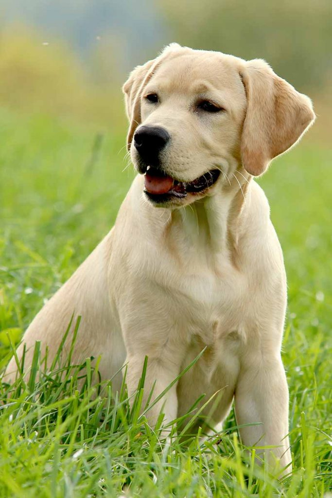 how much to feed a lab puppy