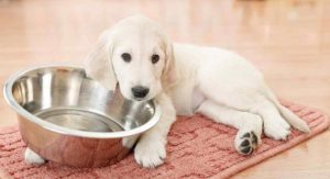 How Much to Feed a Lab Puppy as They Grow: Lab Feeding Guide