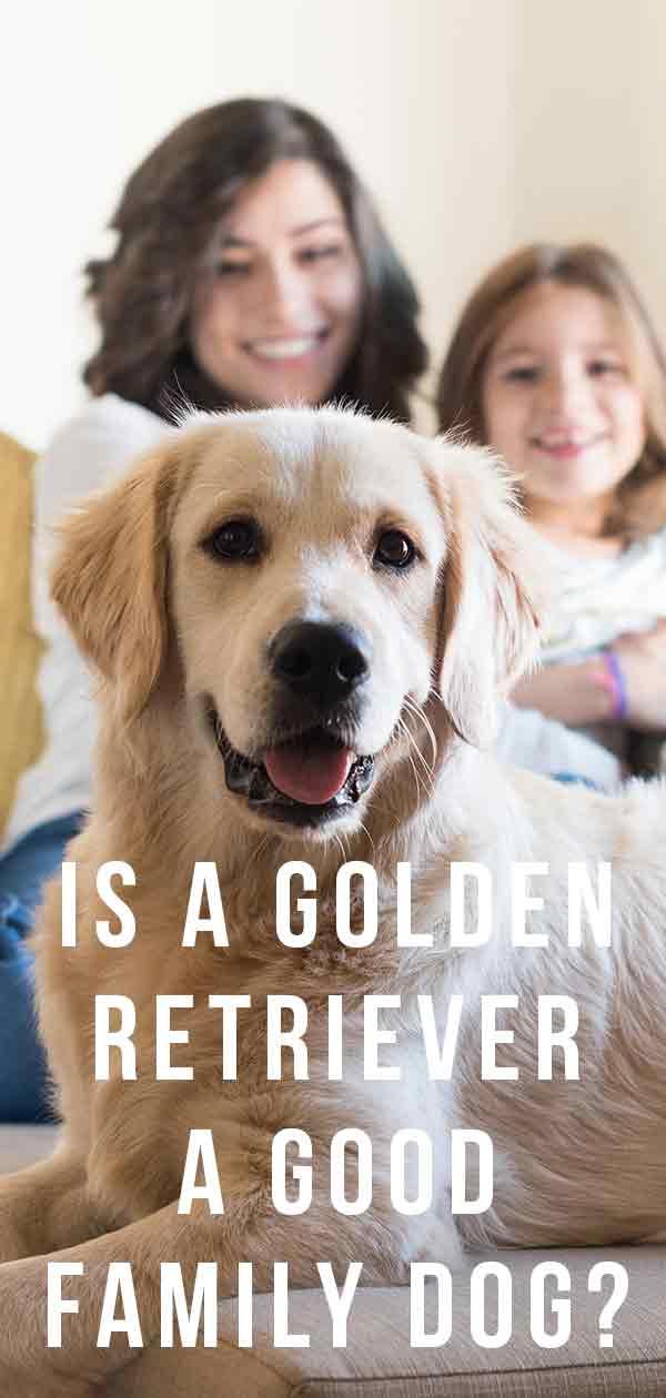 is a golden retriever a good family dog