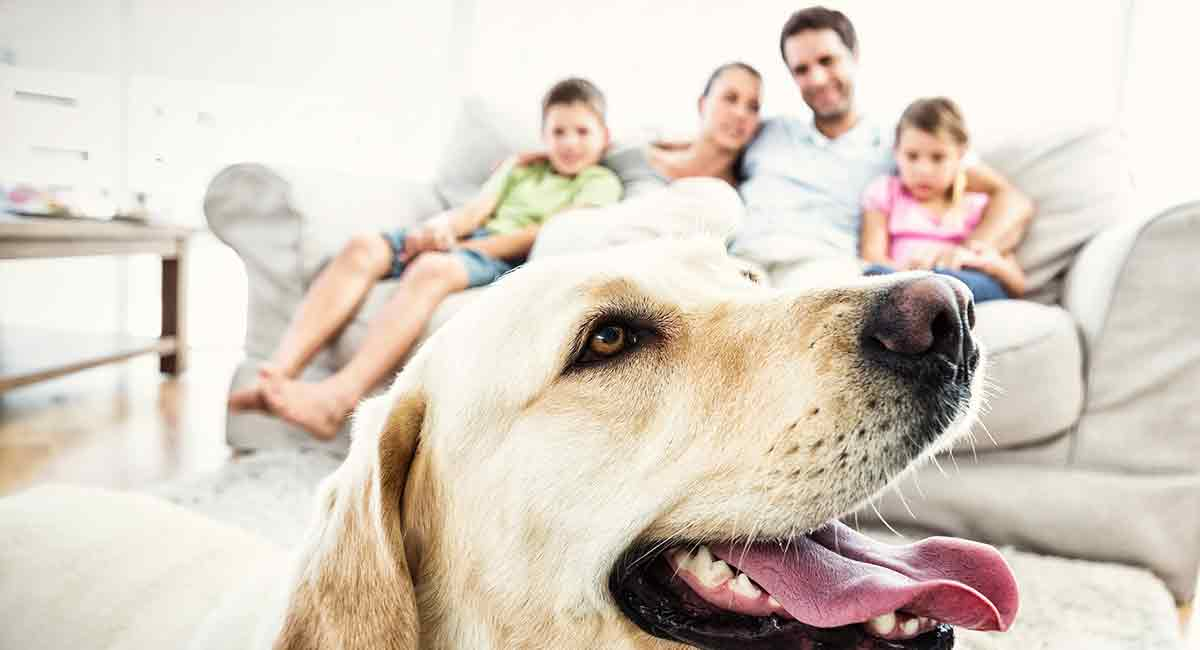 is a labrador a good family dog
